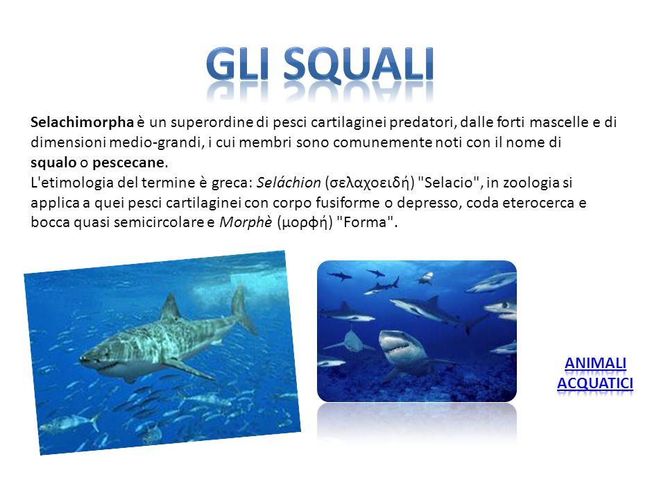 Selachimorpha è un superordine di pesci cartilaginei predatori, dalle forti mascelle e di dimensioni medio-grandi, i cui membri sono comunemente noti