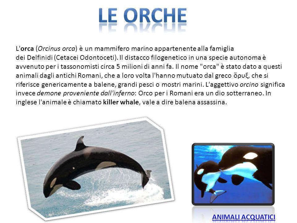 L'orca (Orcinus orca) è un mammifero marino appartenente alla famiglia dei Delfinidi (Cetacei Odontoceti). Il distacco filogenetico in una specie auto