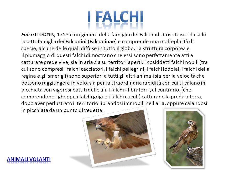 Falco L INNAEUS, 1758 è un genere della famiglia dei Falconidi. Costituisce da solo lasottofamiglia dei Falconini (Falconinae) e comprende una moltepl