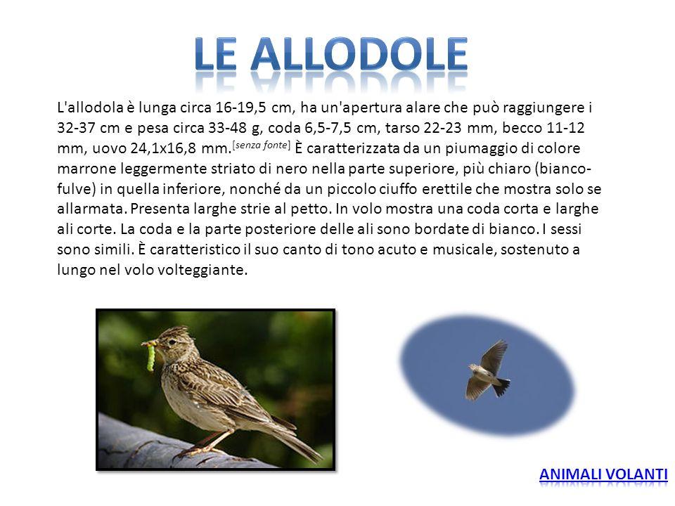 L'allodola è lunga circa 16-19,5 cm, ha un'apertura alare che può raggiungere i 32-37 cm e pesa circa 33-48 g, coda 6,5-7,5 cm, tarso 22-23 mm, becco