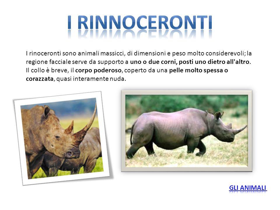 I rinoceronti sono animali massicci, di dimensioni e peso molto considerevoli; la regione facciale serve da supporto a uno o due corni, posti uno diet