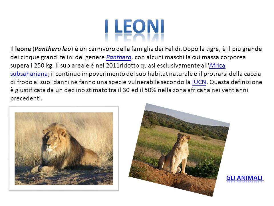Il leone (Panthera leo) è un carnivoro della famiglia dei Felidi. Dopo la tigre, è il più grande dei cinque grandi felini del genere Panthera, con alc