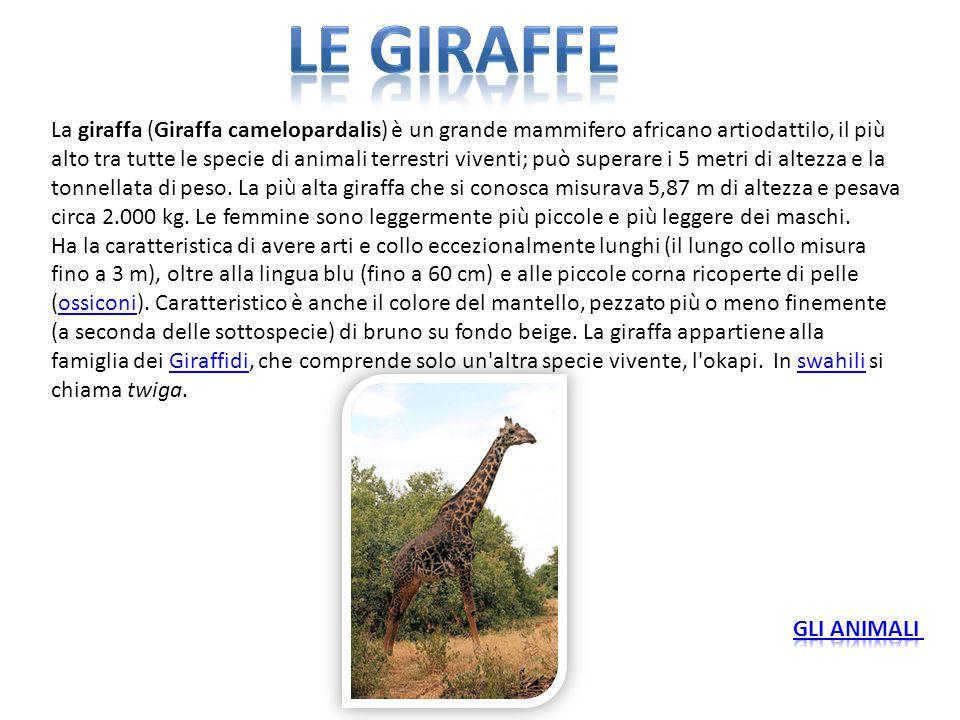 La giraffa (Giraffa camelopardalis) è un grande mammifero africano artiodattilo, il più alto tra tutte le specie di animali terrestri viventi; può sup
