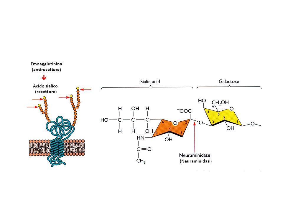 Emoagglutinina (antirecettore) (Neuraminidasi ) Acido sialico (recettore) 