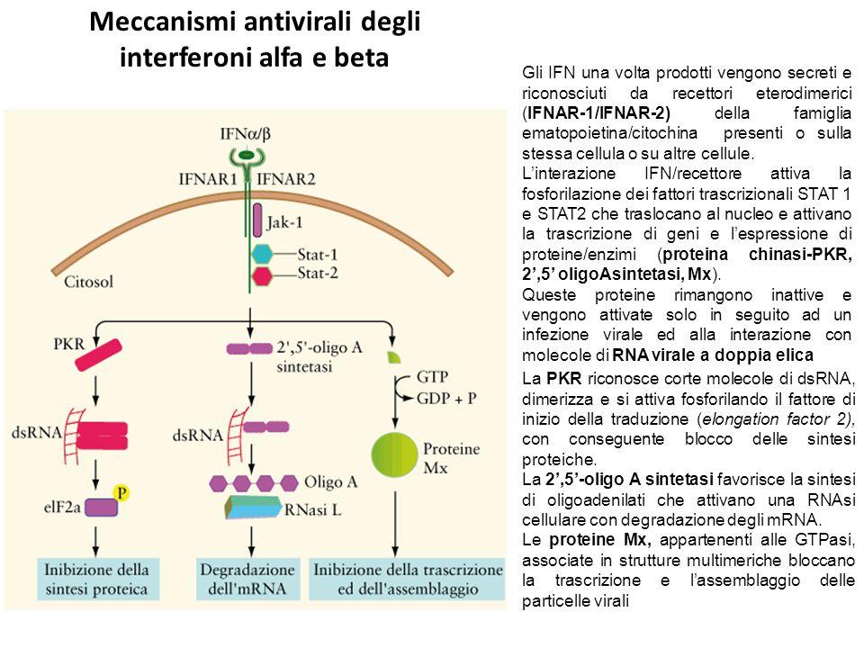 Meccanismi antivirali degli interferoni alfa e beta La PKR riconosce corte molecole di dsRNA, dimerizza e si attiva fosforilando il fattore di inizio