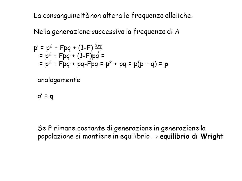 La consanguineità non altera le frequenze alleliche. Nella generazione successiva la frequenza di A p' = p 2 + Fpq + (1-F) = p 2 + Fpq + (1-F)pq = = p