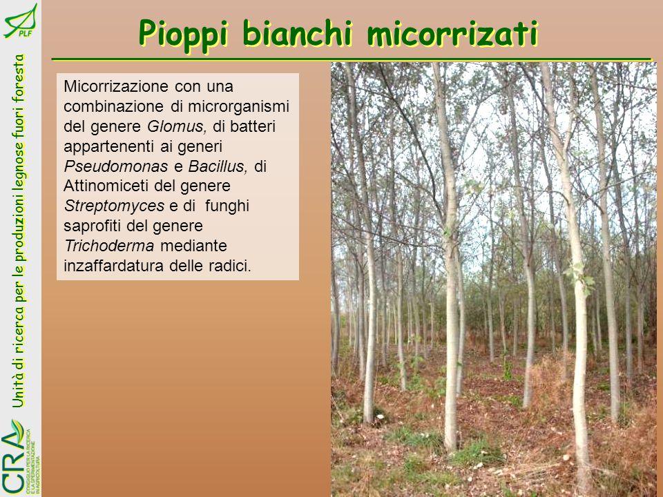 Unità di ricerca per le produzioni legnose fuori foresta Pioppi bianchi micorrizati