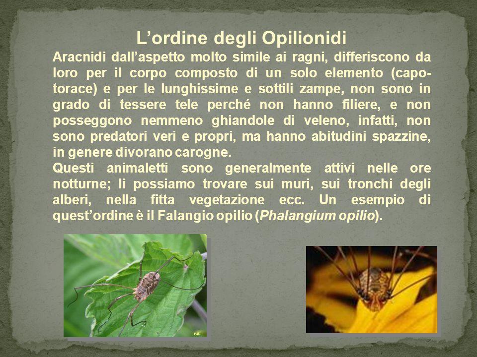 L'ordine degli Scorpioni Gli scorpioni hanno il corpo formato da più segmenti, capo-torace, addome segmentato e post-addome, pure segmentato, ha sei o