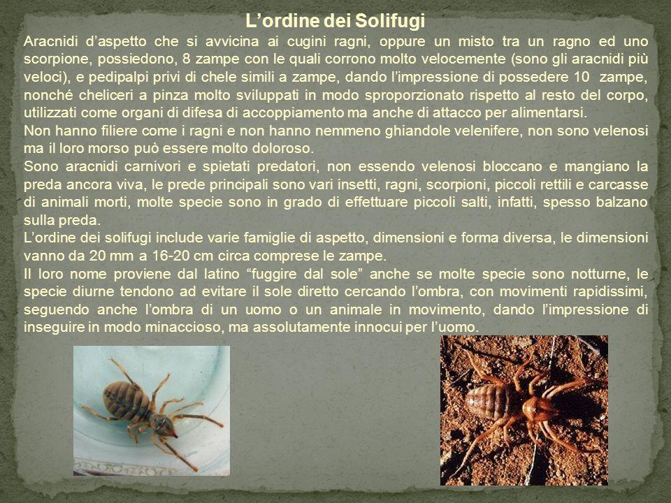 L'ordine degli Opilionidi Aracnidi dall'aspetto molto simile ai ragni, differiscono da loro per il corpo composto di un solo elemento (capo- torace) e