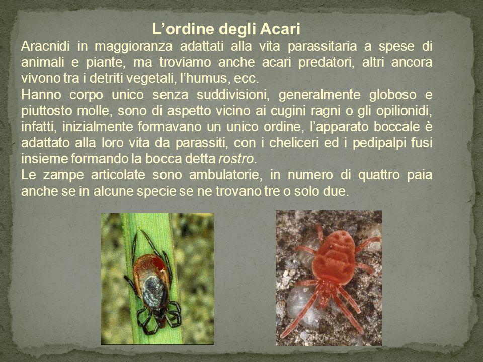 L'ordine dei Solifugi Aracnidi d'aspetto che si avvicina ai cugini ragni, oppure un misto tra un ragno ed uno scorpione, possiedono, 8 zampe con le qu