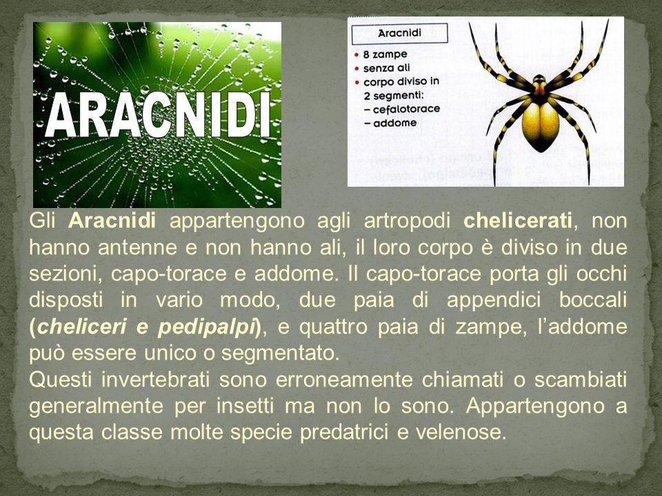 Gli Aracnidi appartengono agli artropodi chelicerati, non hanno antenne e non hanno ali, il loro corpo è diviso in due sezioni, capo-torace e addome.