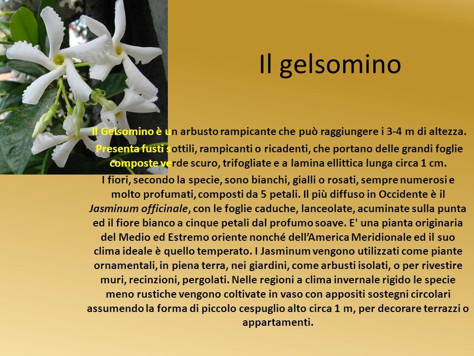 Il gelsomino Il Gelsomino è un arbusto rampicante che può raggiungere i 3-4 m di altezza. Presenta fusti sottili, rampicanti o ricadenti, che portano