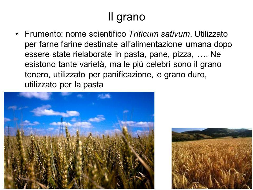 Il grano Frumento: nome scientifico Triticum sativum. Utilizzato per farne farine destinate all'alimentazione umana dopo essere state rielaborate in p