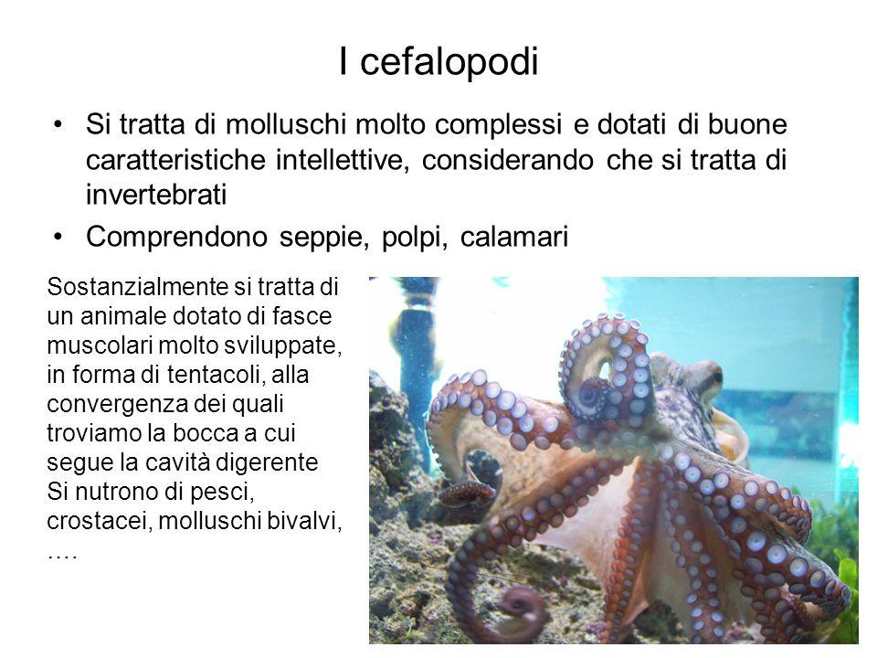 I cefalopodi Si tratta di molluschi molto complessi e dotati di buone caratteristiche intellettive, considerando che si tratta di invertebrati Compren