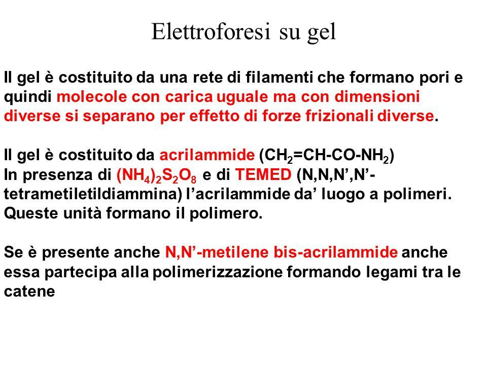 Elettroforesi su gel Il gel è costituito da una rete di filamenti che formano pori e quindi molecole con carica uguale ma con dimensioni diverse si se