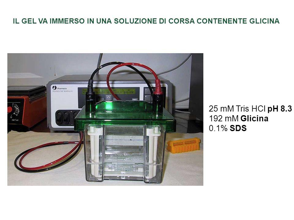 IL GEL VA IMMERSO IN UNA SOLUZIONE DI CORSA CONTENENTE GLICINA 25 mM Tris HCl pH 8.3 192 mM Glicina 0.1% SDS