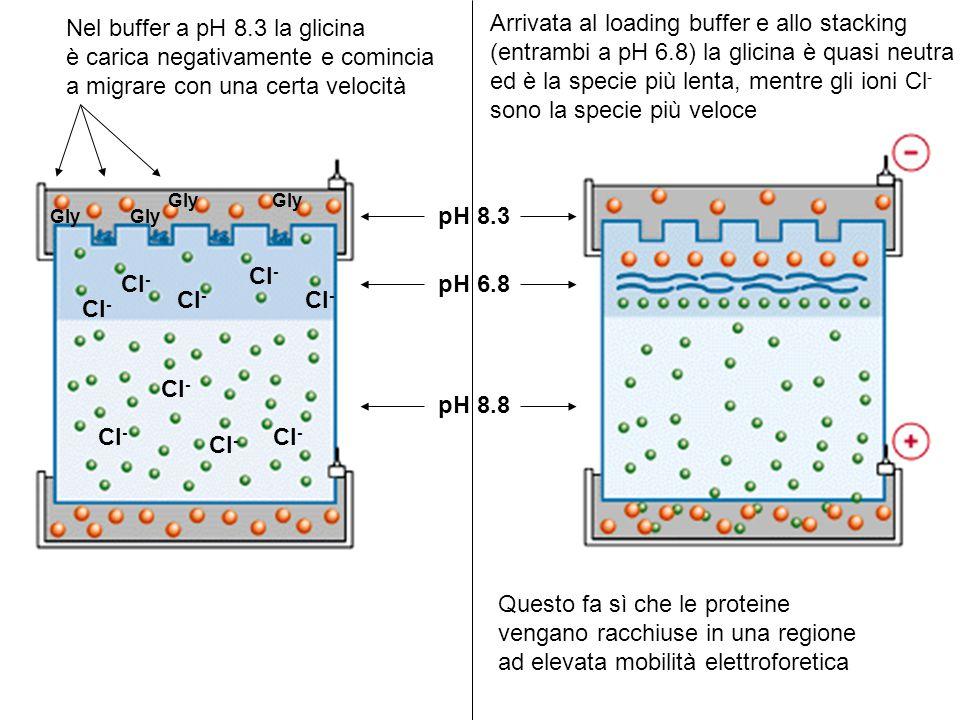 Nel buffer a pH 8.3 la glicina è carica negativamente e comincia a migrare con una certa velocità pH 8.3 Arrivata al loading buffer e allo stacking (e