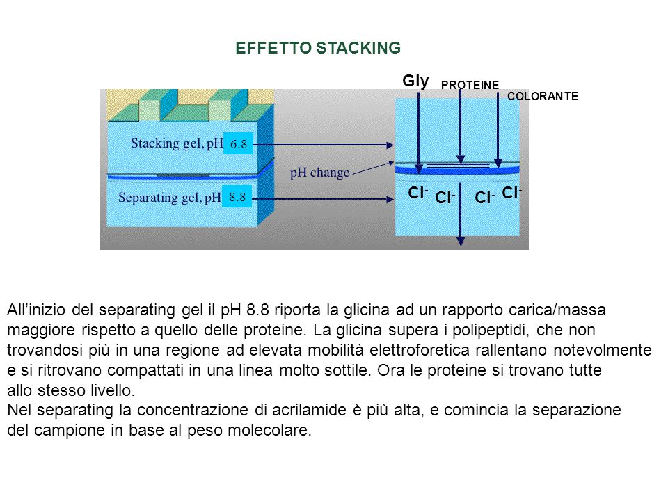 EFFETTO STACKING All'inizio del separating gel il pH 8.8 riporta la glicina ad un rapporto carica/massa maggiore rispetto a quello delle proteine. La