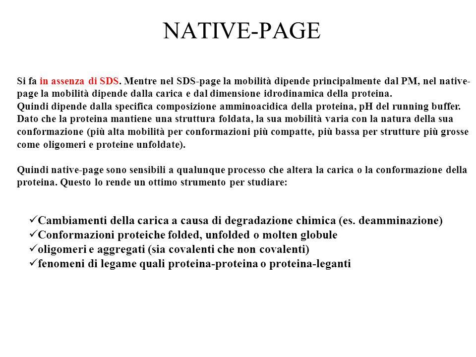 NATIVE-PAGE Si fa in assenza di SDS. Mentre nel SDS-page la mobilità dipende principalmente dal PM, nel native- page la mobilità dipende dalla carica