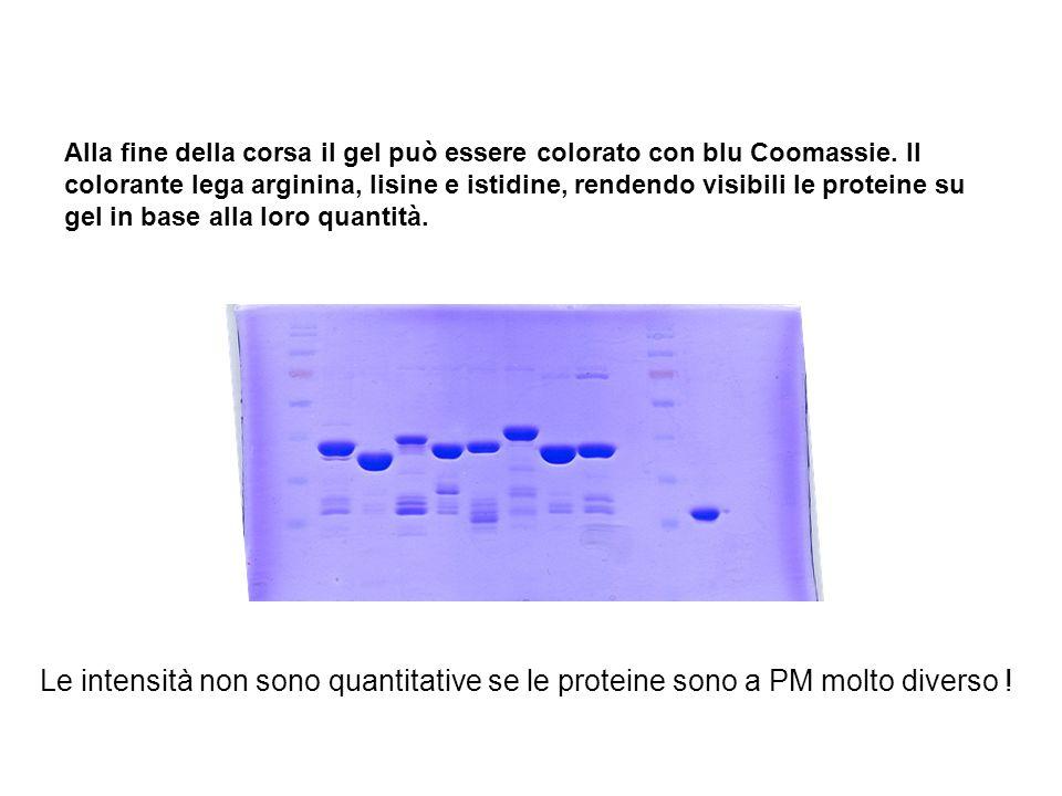 Alla fine della corsa il gel può essere colorato con blu Coomassie. Il colorante lega arginina, lisine e istidine, rendendo visibili le proteine su ge