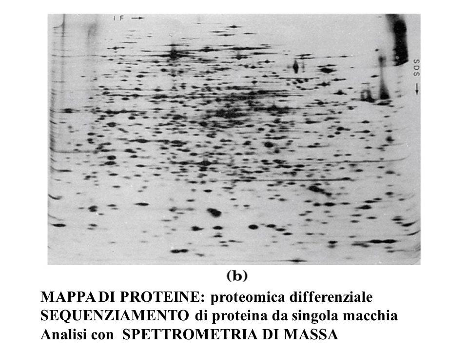 MAPPA DI PROTEINE: proteomica differenziale SEQUENZIAMENTO di proteina da singola macchia Analisi con SPETTROMETRIA DI MASSA