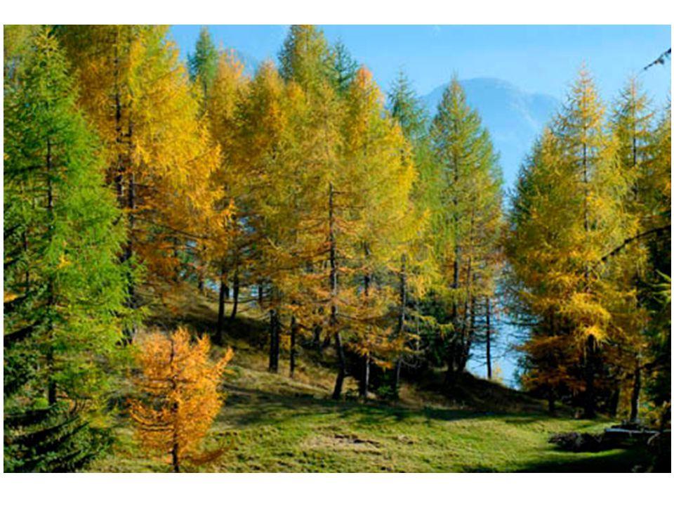 Abete rosso: Picea abies Gli aghi sono appuntiti, inseriti uno ad uno intorno al rametto, i rami giovani sono rossastri ( da cui il nome «abete rosso») I coni vengono prodotti quando l'albero ha 20 o più anni, sono cilindrici, penduli, coriacei, lunghi 10-20 cm, portati sui rami alti, sono prima di color verde-rossiccio, poi marroni in autunno.