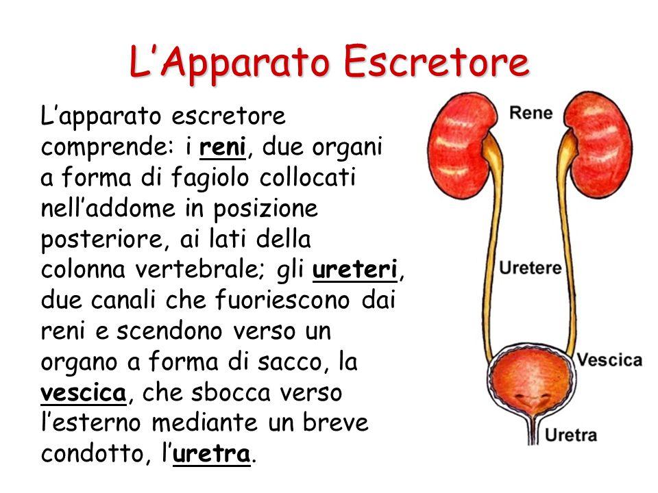 L'apparato escretore comprende: i reni, due organi a forma di fagiolo collocati nell'addome in posizione posteriore, ai lati della colonna vertebrale; gli ureteri, due canali che fuoriescono dai reni e scendono verso un organo a forma di sacco, la vescica, che sbocca verso l'esterno mediante un breve condotto, l'uretra.