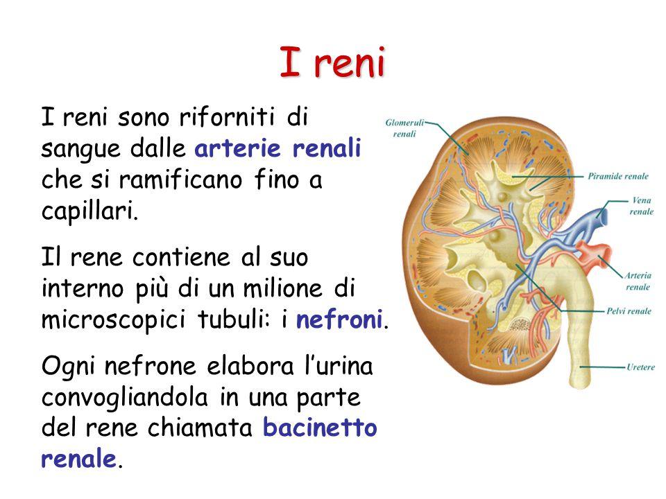 I reni sono riforniti di sangue dalle arterie renali che si ramificano fino a capillari.
