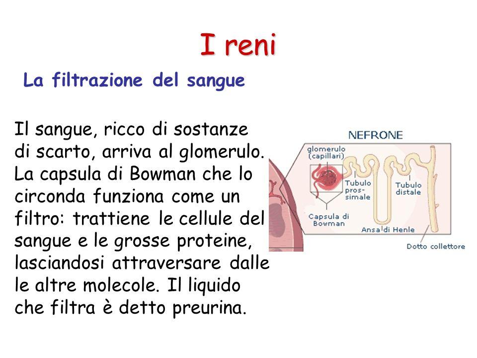 Il riassorbimento delle sostanze utili I reni La preurina percorre un tubulo dove avviene il riassorbimento dell'acqua (99%) e di altre sostanze utili.