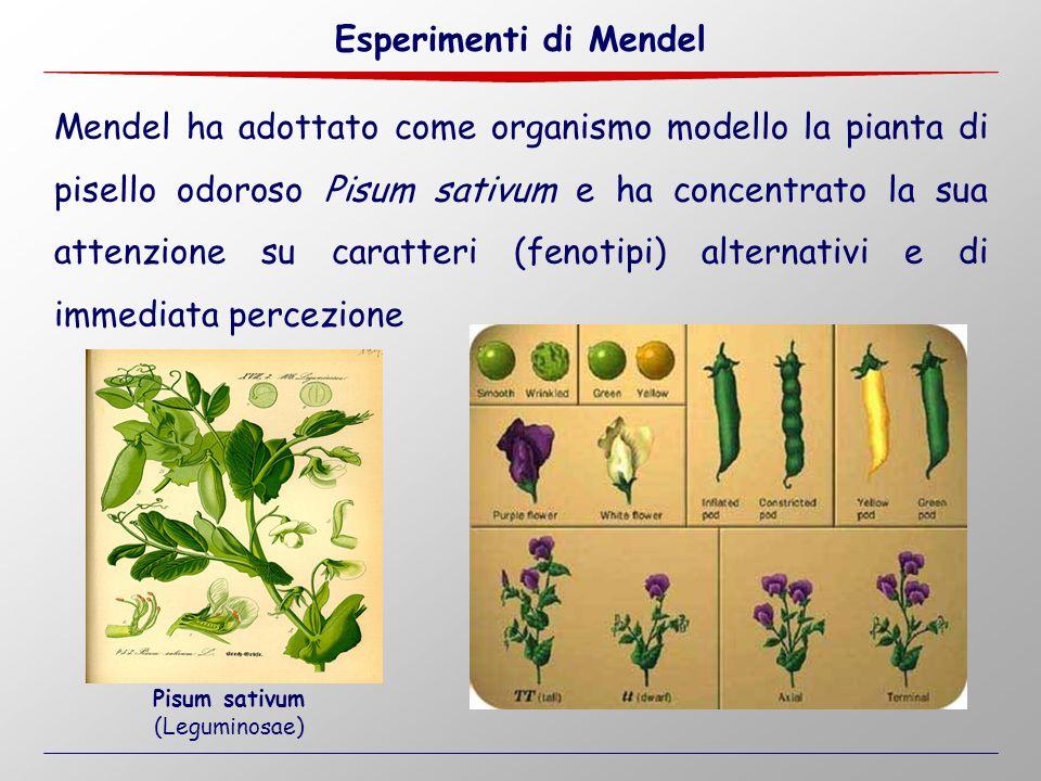Mendel ha adottato come organismo modello la pianta di pisello odoroso Pisum sativum e ha concentrato la sua attenzione su caratteri (fenotipi) altern