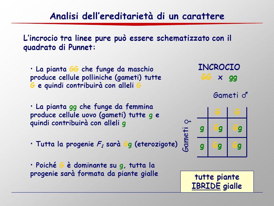 L'incrocio tra linee pure può essere schematizzato con il quadrato di Punnet: GG La pianta GG che funge da maschio produce cellule polliniche (gameti)