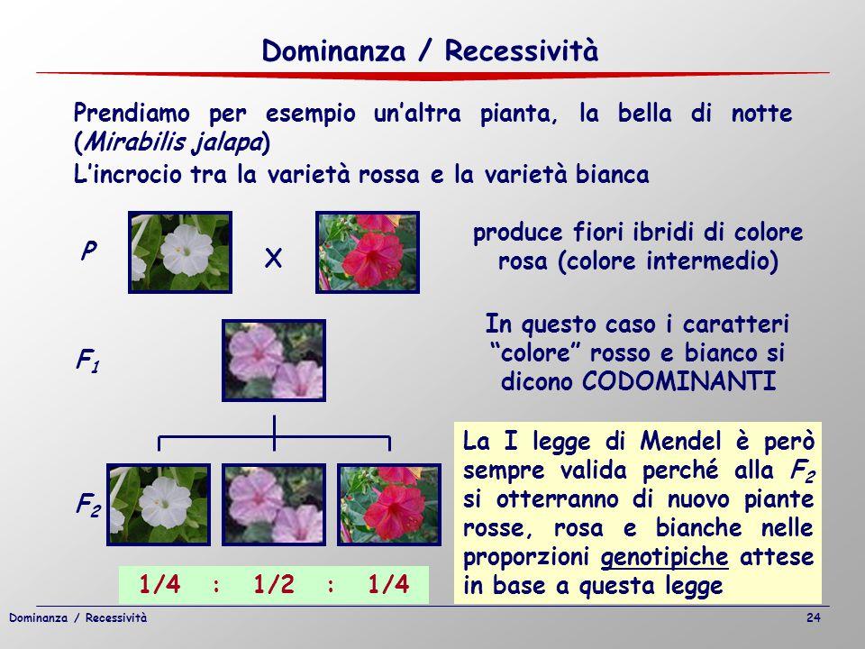 Prendiamo per esempio un'altra pianta, la bella di notte (Mirabilis jalapa) produce fiori ibridi di colore rosa (colore intermedio) In questo caso i c