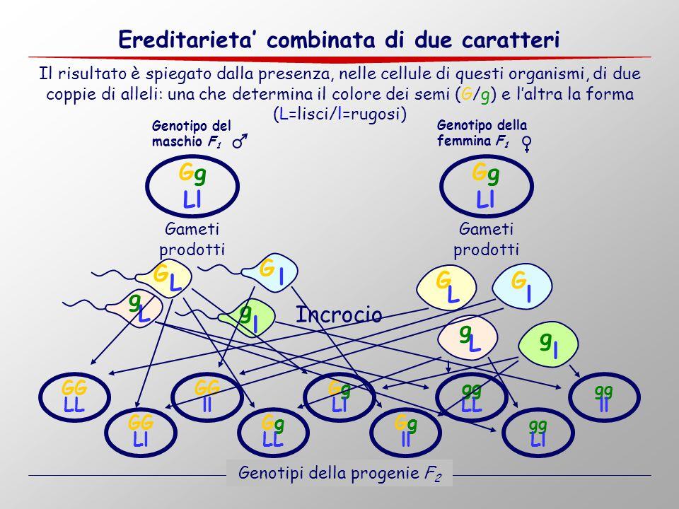 Il risultato è spiegato dalla presenza, nelle cellule di questi organismi, di due coppie di alleli: una che determina il colore dei semi (G/g) e l'alt