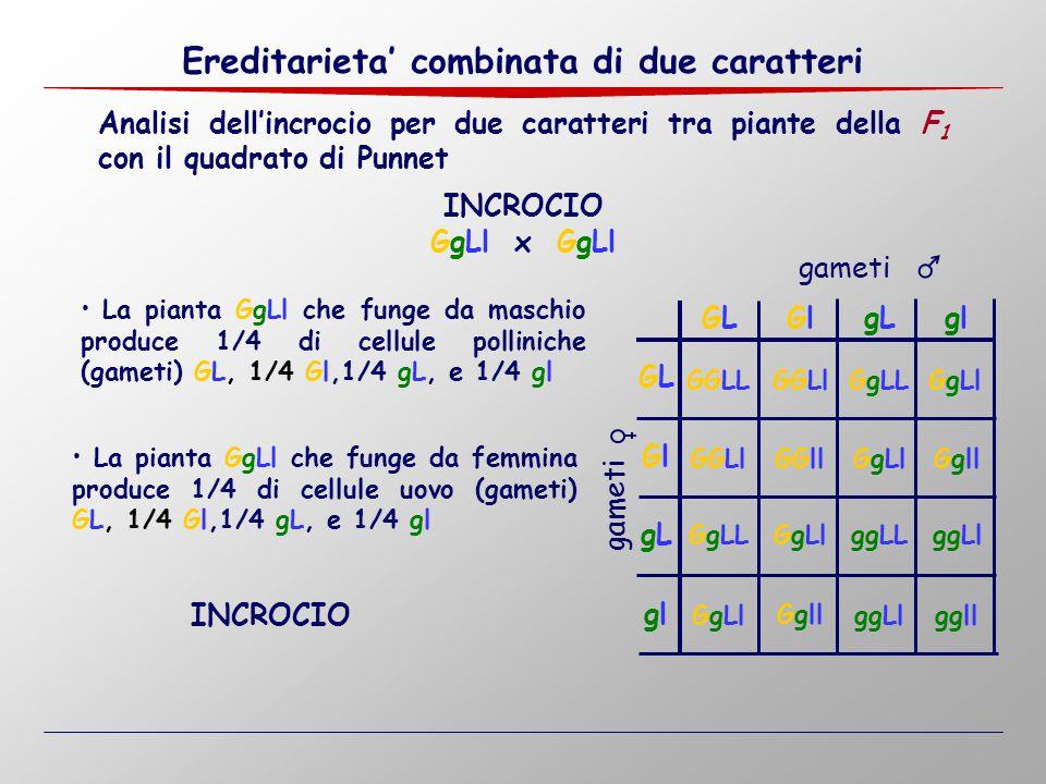 Analisi dell'incrocio per due caratteri tra piante della F 1 con il quadrato di Punnet GgLl x GgLl INCROCIO La pianta GgLl che funge da maschio produc