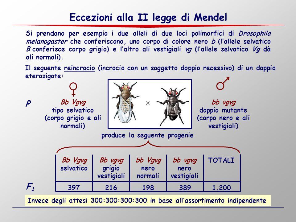 Si prendano per esempio i due alleli di due loci polimorfici di Drosophila melanogaster che conferiscono, uno corpo di colore nero b (l'allele selvati
