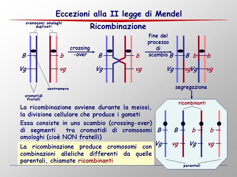Ricombinazione Bb Vgvg crossing -over Bb Vgvg centromero cromatidi fratelli cromosomi omologhi duplicati fine del processo di scambio segregazione La