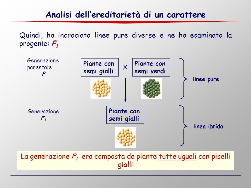 X Quindi, ha incrociato linee pure diverse e ne ha esaminato la progenie: F 1 Generazione parentale P Generazione F 1 La generazione F 1 era composta