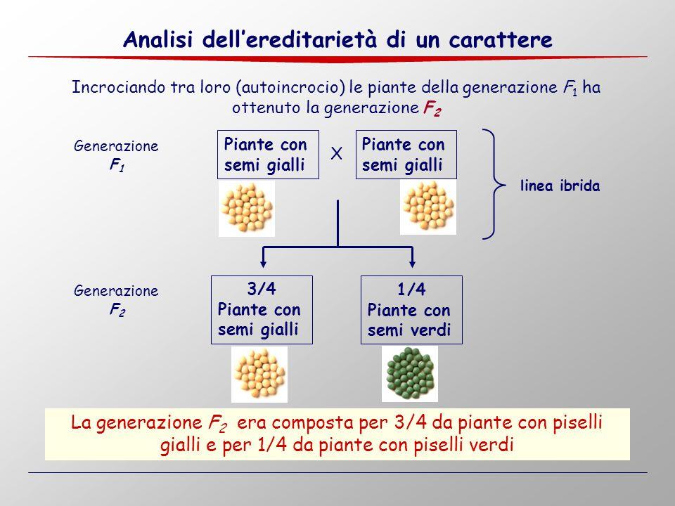 Piante con semi gialli X Piante con semi gialli 3/4 Piante con semi gialli Incrociando tra loro (autoincrocio) le piante della generazione F 1 ha otte