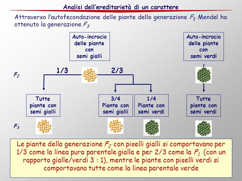 14 Attraverso l'autofecondazione delle piante della generazione F 2 Mendel ha ottenuto la generazione F 3 Le piante della generazione F 2 con piselli
