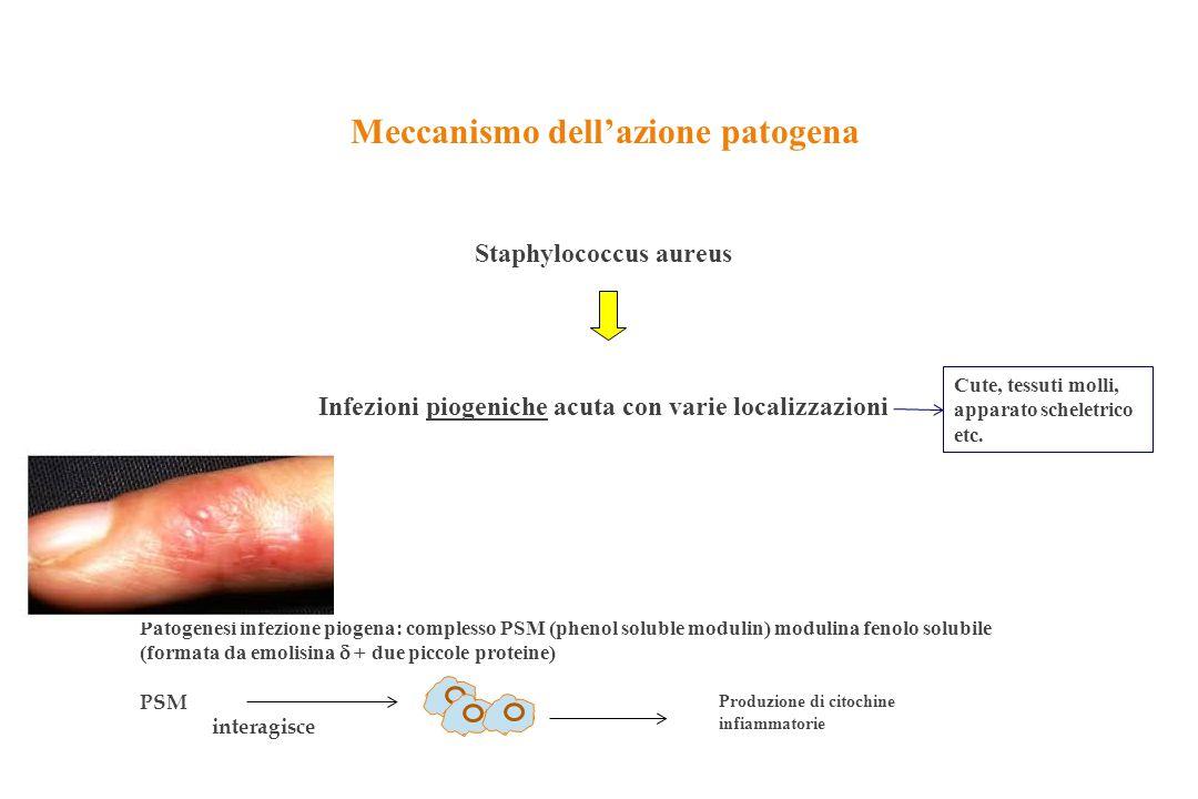 Meccanismo dell'azione patogena Staphylococcus aureus Infezioni piogeniche acuta con varie localizzazioni Cute, tessuti molli, apparato scheletrico et