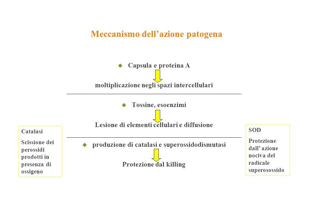 Meccanismo dell'azione patogena u Capsula e proteina A moltiplicazione negli spazi intercellulari u Tossine, esoenzimi Lesione di elementi cellulari e