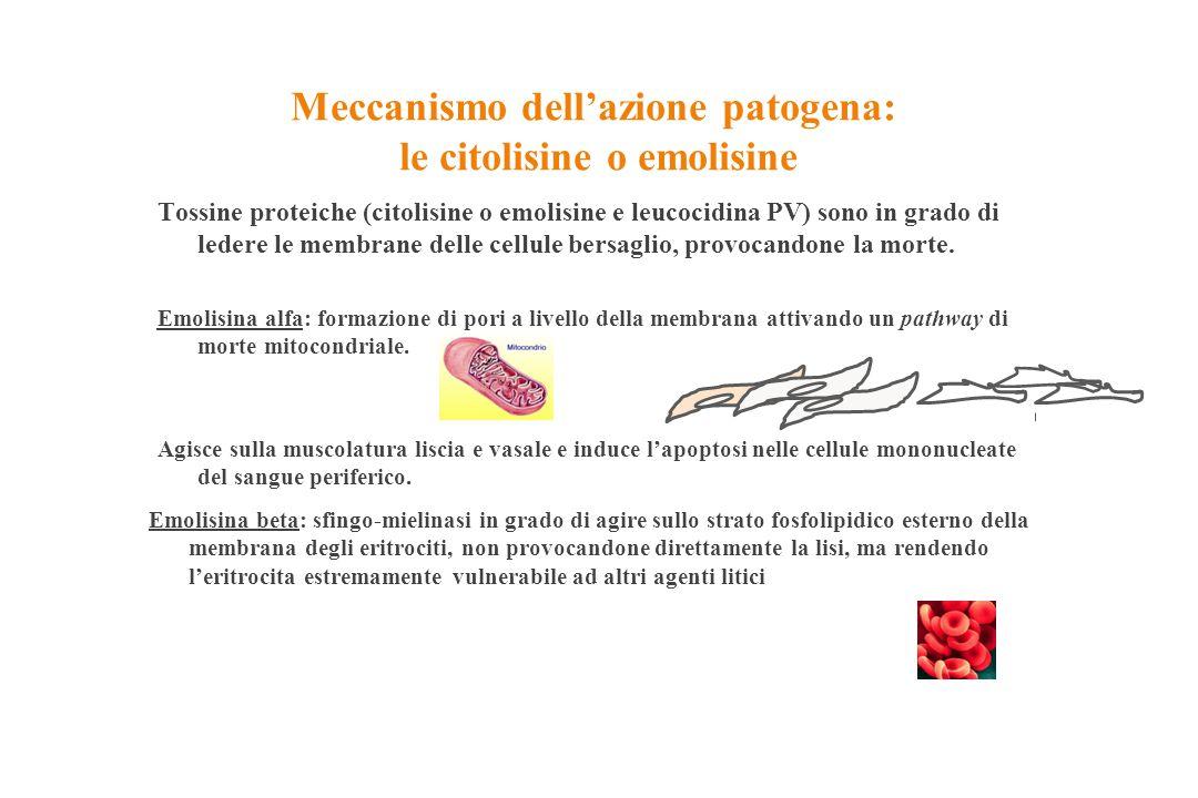 Meccanismo dell'azione patogena: le citolisine o emolisine Tossine proteiche (citolisine o emolisine e leucocidina PV) sono in grado di ledere le memb