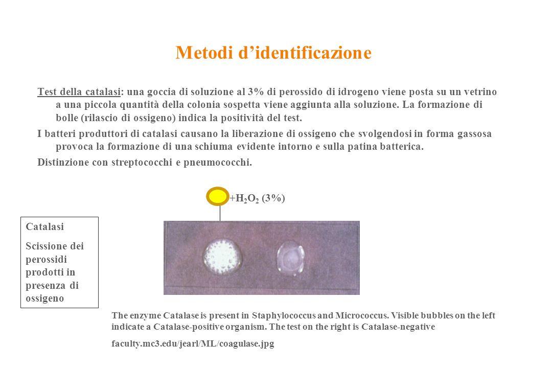 Metodi d'identificazione Test della catalasi: una goccia di soluzione al 3% di perossido di idrogeno viene posta su un vetrino a una piccola quantità