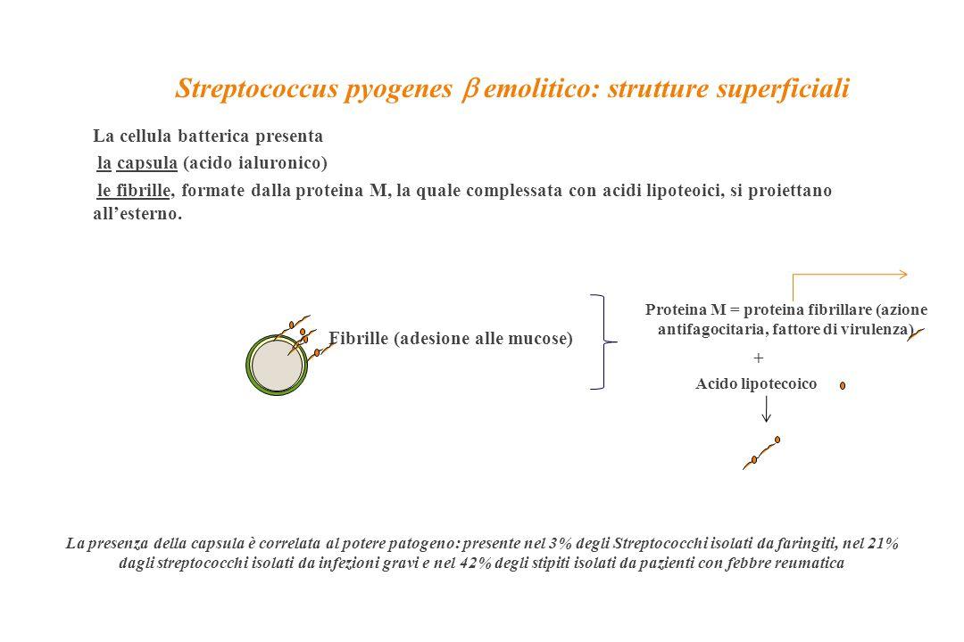 Streptococcus pyogenes  emolitico: strutture superficiali La cellula batterica presenta la capsula (acido ialuronico) le fibrille, formate dalla prot
