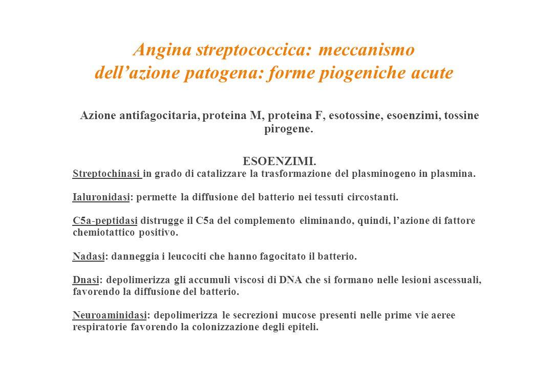 Angina streptococcica: meccanismo dell'azione patogena: forme piogeniche acute Azione antifagocitaria, proteina M, proteina F, esotossine, esoenzimi,