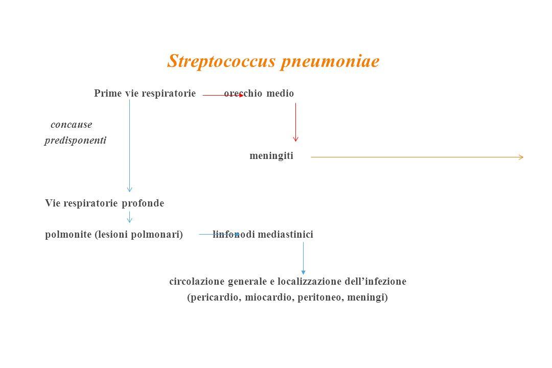 Streptococcus pneumoniae Prime vie respiratorie orecchio medio concause predisponenti meningiti Vie respiratorie profonde polmonite (lesioni polmonari