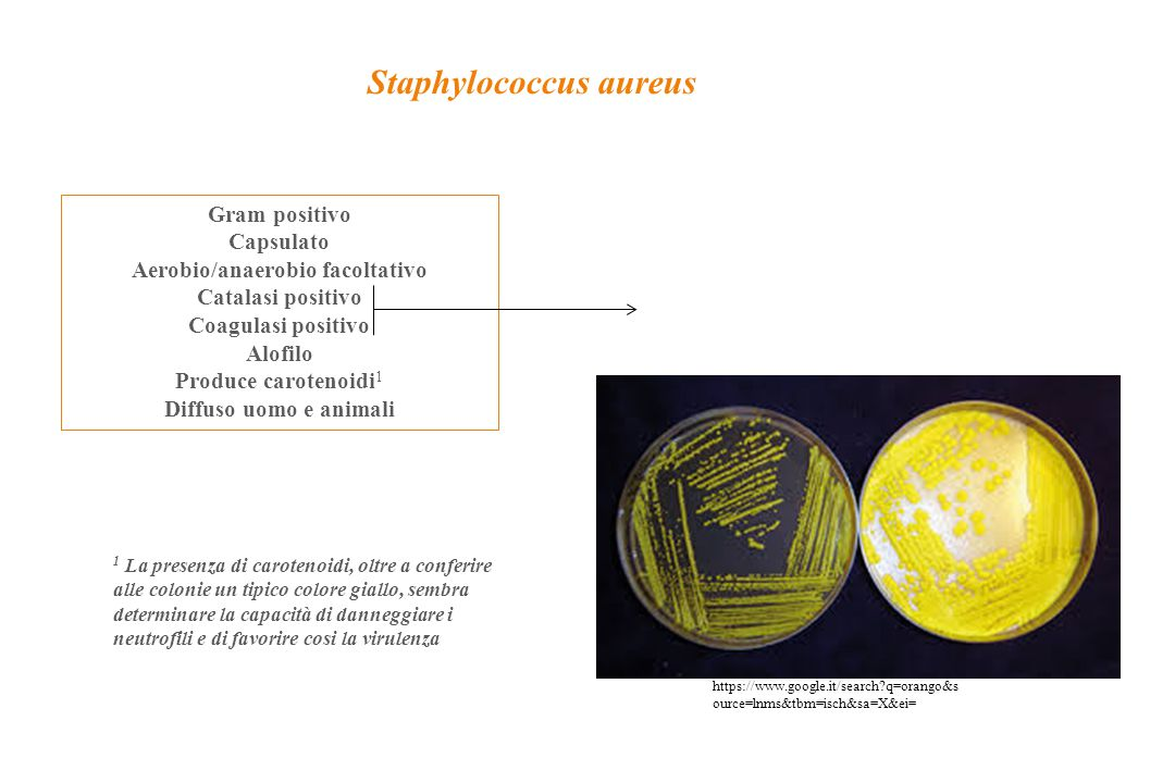 Staphylococcus aureus Gram positivo Capsulato Aerobio/anaerobio facoltativo Catalasi positivo Coagulasi positivo Alofilo Produce carotenoidi 1 Diffuso