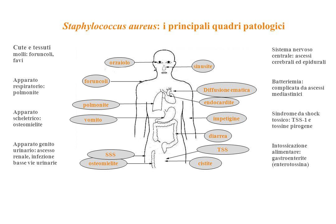 orzaiolo sinusite foruncoli endocardite diarrea osteomielitecistite TSS SSS vomito polmonite impetigine Diffusione ematica Staphylococcus aureus: i pr