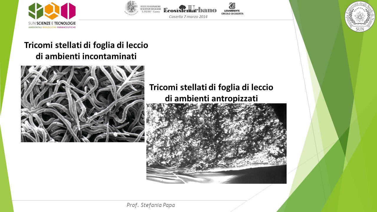 Tricomi stellati di foglia di leccio di ambienti incontaminati Tricomi stellati di foglia di leccio di ambienti antropizzati Caserta 7 marzo 2014 Prof.