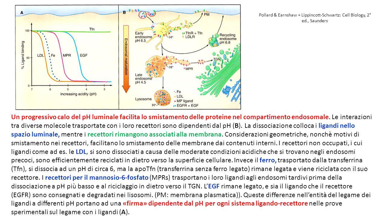 Pollard & Earnshaw + Lippincott-Schwartz: Cell Biology, 2° ed., Saunders Un progressivo calo del pH luminale facilita lo smistamento delle proteine ne